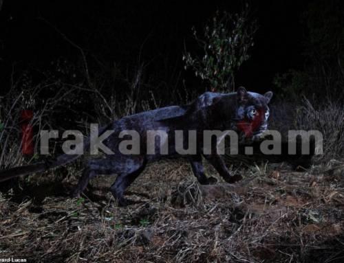 Հաջողվել է ֆիքսել հազվագյուտ սևաթույր ընձառյուծի (լուսանկարներ)