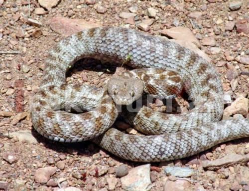 Երևանում գյուրզա տեսակի օձ է նկատվել