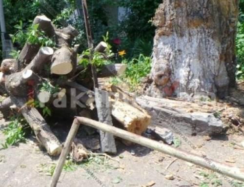 Երեւանում հաստաբուն ծառը տապալվել է՝ փակելով շենքի մուտքը