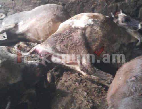 Շիրակի մարզում կանխվել է անկած կենդանիների մսի վաճառքը
