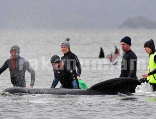 Ավսրիալիայում փրկարարները ծով են բաց թողել 108 փրկված կետի
