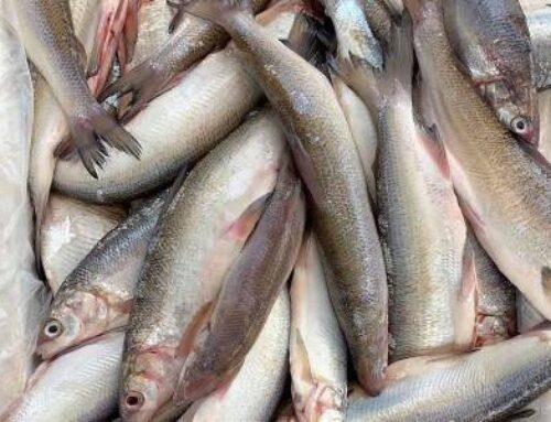 Առգրավվել է 40 հատ, ընդհանուր քաշով 20 կգ սիգ տեսակի ձուկ